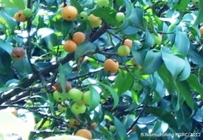 Conservation of Indigenous fruit species at PGRC